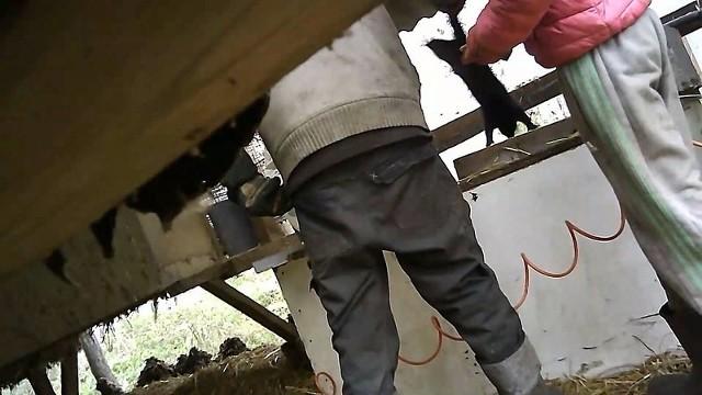 Nagrania przedstawiają trzy osoby, które przeprowadzają ubój za pomocą skrzynki do gazowania. Wrzucają do skrzynki wyrywające się norki, a te, które przeżyły gazowanie dobijają metalowym prętem lub poprzez uderzenie o drewniany legar. Widać również, że jednak z norek zabijana jest poprzez kopnięcie.