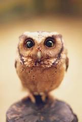 Zwykłe zdjęcia sowy, które hipnotyzują w niezwykły sposób [GALERIA]