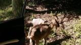 Strażnicy pomogli chorym, bezpańskim kozom z gminy Kolbudy. Znaleźli miejsce, gdzie będą leczone i nowy dom