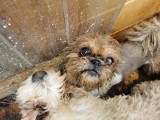 Animalsi interweniowali w powiecie kartuskim. Uratowali 78 psów z pseudohodowli