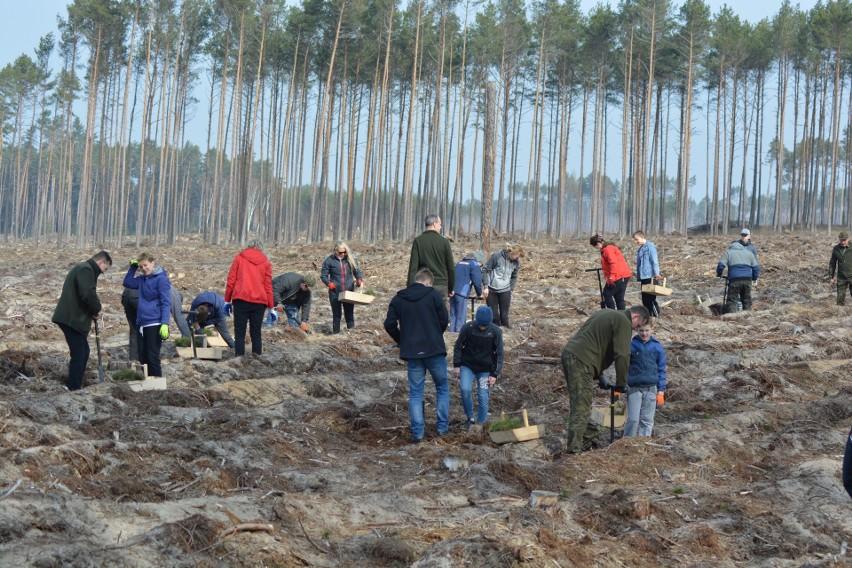 Sadzenie nowego lasu w nadleśnictwie Czersk.