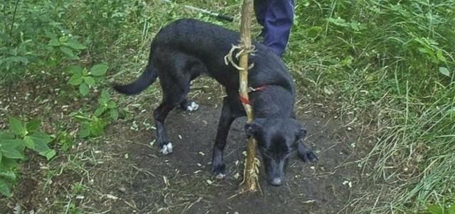 Pies został znaleziony w lesie w okolicach ul. Starostawskiej 20 lipca tego roku.