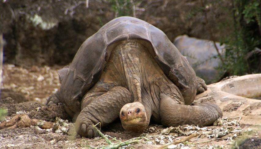Żółw słoniowy z Pinta Island...