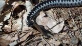Żmija zygzakowata w lesie w Myszkowie. Leśnicy ostrzegają. Jad żmii jest groźny