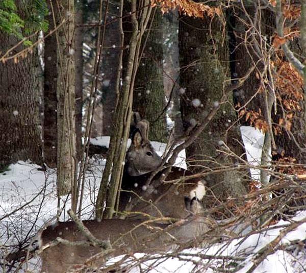 Sarny to zimą łatwy łup nie tylko dla wilków, ale i dla włóczących się po lasach psów.