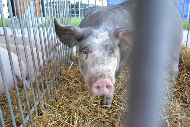 Niektórzy rolnicy już postawili na produkcję wieprzowiny ze świń ras rodzimych