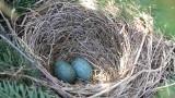 Trwaja lęgi ptaków. Uważajmy na gniazda i... pilnujmy naszych pupiili