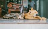 Jak długo kot może zostać sam w domu? Behawiorystka radzi co zrobić, gdy planujemy dłuższy wyjazd