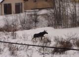 Wyżyny: Łoś spacerował między domami (wideo)