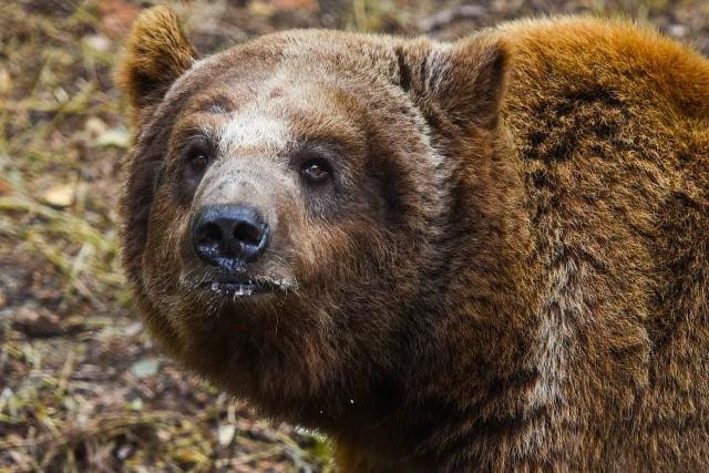 Niedźwiedź Baloo w poznańskim Zoo