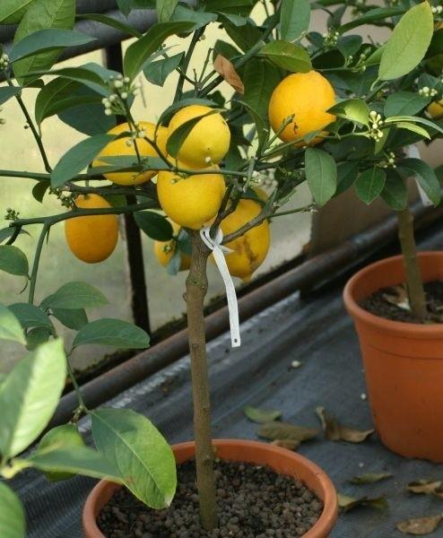 Takie owoce to powód do dumy każdego hodowcy.