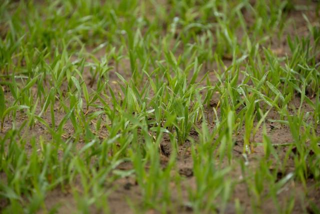 W tym roku siewy zbóż były opóźnione, ale dzięki wyjątkowo ciepłej jesieni oziminy zdążyły przed zimą pięknie wyrosnąć