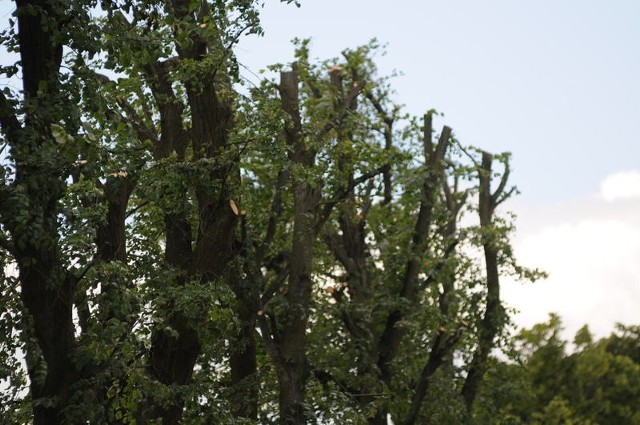 Zdaniem fachowców, lipy koło Ołoboku i Skąpego przycięto za mocno. Pielęgnacji drzew należy dokonywać co roku i małymi krokami, a nie tak gwałtownie jak tutaj.