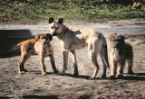 Przyrodnik Janusz Wepsięć: - Martwa sarna znaleziona w Wielowsi to zapewne dzieło sfory psów