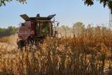 Ceny za koszenie kukurydzy na ziarno. Ile biorą za zbiór jesienią 2020?