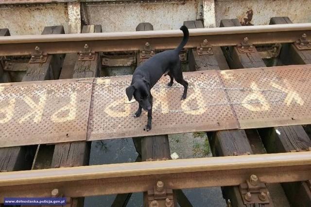 Pies był przywiązany do torów łańcuchem.