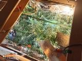 Lubicz: Policja w pobliżu Torunia zlikwidowała domową plantacje marihuany. 71 zarzutów dla 39-latka. Także za handel narkotykami