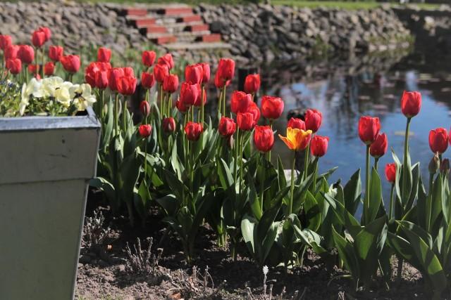 Czerwone tulipany w ogrodzieDawniej pierwsze, marcowe tulipany, miały głównie czerwone kwiaty. Teraz do wyboru jest cała gama kolorów, a do tego są tez tulipany o płatkach w prążki, czy o postrzępionych brzegach. Kliknij w zdjęcie i zobacz galerię pięknych odmian tulipanów.