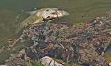 Kraków. Śmieci, zanieczyszczenia i martwe ryby w Zalewie Nowohuckim [ZDJĘCIA]