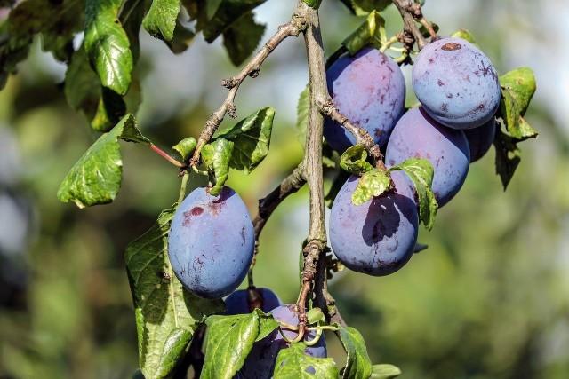 Śliwki należą do owoców, z których najchętniej robimy przetwory i ciasta.