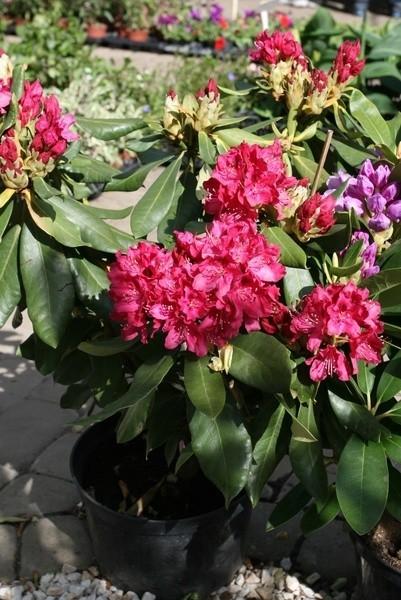 Azalie to jedne z najładniej kwitnących roślin ogrodowych.