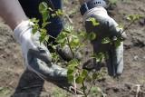 Na Osobowicach rośnie nowy las. Posadzili prawie 30 tys. sadzonek
