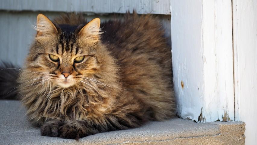 9. Kot norweski leśny...
