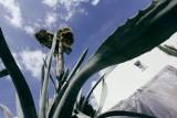 Agawa zakwitła w ogrodzie naszego Czytelnika! [zdjęcia]
