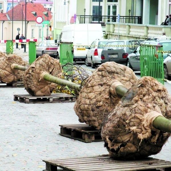 Osiemnaście drobnolistnych lip przyjechało do Białegostoku ze specjalnej szkółki. Dziś rozpoczeto ich sadzenie.