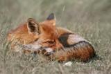 Wścieklizna znów zaatakowała - przypadki u lisów. Co z naszymi psami i kotami?