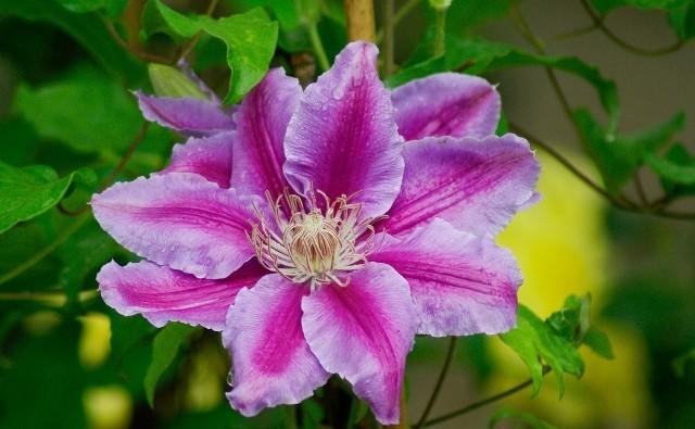 Powojniki to pnącza o wyjątkowo okazałych kwiatach. W zależności od odmiany kwitną od wiosny do jesieni. Dlatego warto posadzić różne, żeby jak najdłużej cieszyć się ich kwiatami.