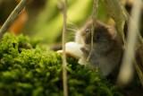 Poznańskie zoo wkrótce wypuści na wolność chomiki. To część projektu ochrony gatunku przed wyginięciem