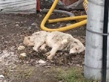 """Maks był wygłodzony i zaniedbany. - Ten pies z głodu """"gryzł"""" ziemię - załamują ręce wolontariusze organizacji OTOZ Animals."""