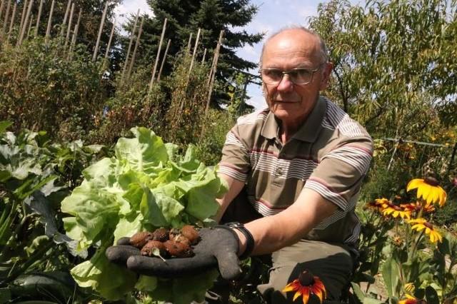 Stanisław Brzeziński:- Te szkodniki potrafią zeżreć całą sałatę. Niektórzy sąsiedzi z działek po jednym przejściu przez ogródek potrafią zebrać nawet 80 sztuk tych łobuzów.