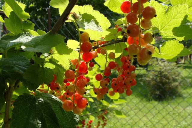 Porzeczka w ogrodzieNie trzeba wiele wysiłku, ani dużego ogrodu, żeby cieszyć się świeżymi owocami od późnej wiosny do jesieni. Wystarczy posadzić kilka krzewów.
