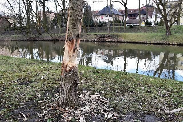 Drzewa nadgryzione przez bobry nad Młynówką.