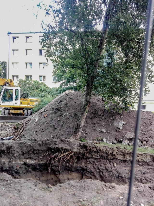 Podczas prac ziemnych korzenie drzew powinny znajdować się pod szczególną ochroną. Nie wolno ich odkopywać ani przycinać, bo drzewa prędzej czy później zaczną umierać. Zaczną im odpadać gałęzie, gwałtowniejszy powiew wiatru może też doprowadzić do tego, że się drzewo przewróci. Zdjęcie z ul. Słowackiego.