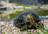 Żółw żółtobrzuchy odłowiony z Raduni w Pruszczu Gdańskim. Zwierzę przebywało niedaleko Faktorii. W środowisku naturalnym żyje w Ameryce Płn.