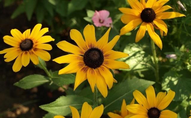 Rudbekie tak dawno zadomowiły się w naszych ogrodach, że uważamy je za rodzimą roślinę.