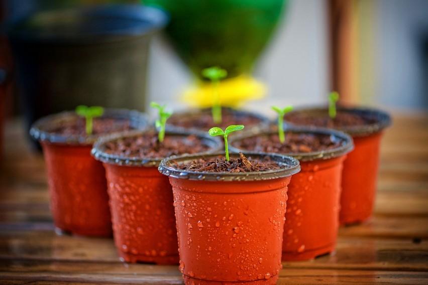 Moczenie nasion, ziaren czy orzechów w temperaturze...
