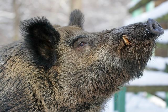 Podlaska Izba Rolnicza uważa, że trzeba obniżyć populację dzików do poziomu 0,5 szt./kmkw. na terenie lasu. Dane, którymi teraz się operuje, uwzględniają obszar całego obwodu łowieckiego