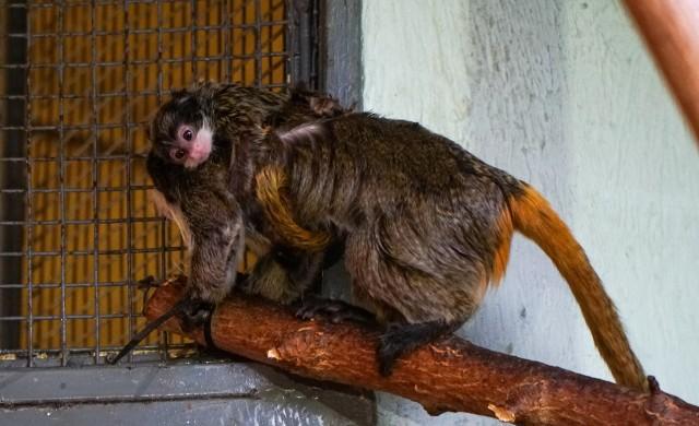 W opolskim zoo żyło dotąd 5 tamaryn cesarskich. W grudniu stado powiększyło się o dwa młode osobniki.