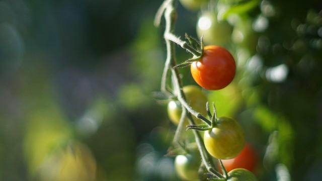 Pomidor to jedno z niewielu warzy, które korzystnie spożywać nie tylko na surowo, ale i po obróbce termicznej. Zawiera wówczas więcej likopenu.