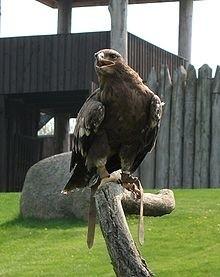 Orlki krzykliwy to rzadki gatunek ptaka na terenie Puszczy Knyszyńskiej i Białowieskiej. Dlatego trzeba go chronić