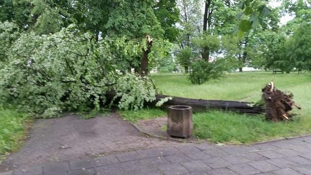 W Zielonej Górze silny wiatr powalił drzewo.