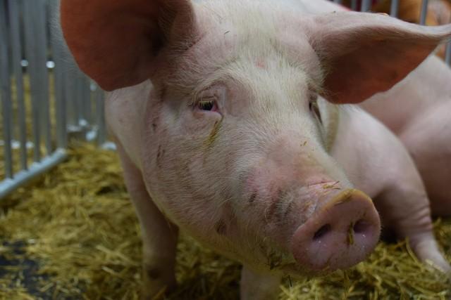 Wsparcie dla producentów wieprzowiny i mleka, ASF - to tematy poruszone w Brukseli