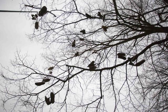 Co to za dziwactwo? Dziesiątki zużytych butów wisi na drzewach przy ulicy Małcużyńskiego