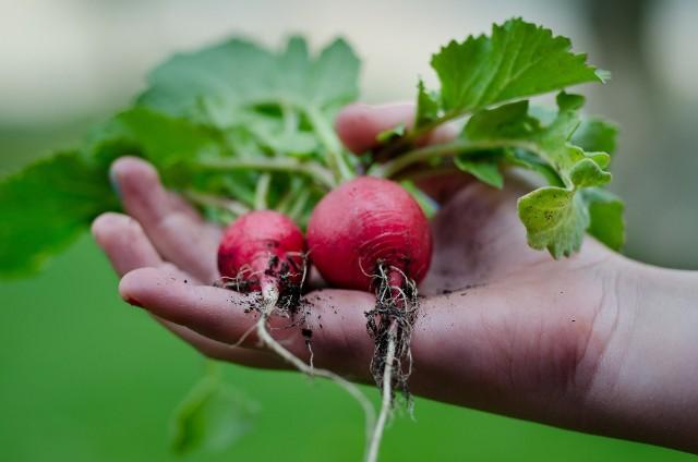 Domowe czy balkonowe ogródki są coraz bardziej popularne a tendencja do uprawy żywności w domu rośnie. Okazuje się jednak, że bardzo popularna metoda stosowana przez większość osób hodujących rośliny, zioła czy warzywa może sprawić, że wyhodowane jedzenie stanie się toksyczne!Jak uniknąć niebezpieczeństwa? Zobacz więcej w naszej galerii >>>>>