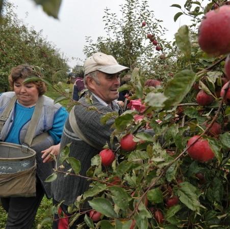 Trwa zbiór jabłek, przy którym pracuje 50 osób. Ale nieznana jest przyszłość sadu - czy na tych 300 ha powstaną osiedla i fabryki?
