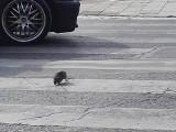 Wrocław walczy ze szczurami. Są już pierwsze efekty!